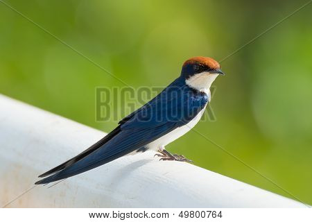 A Wire-Tailed Swallow with its tail visible poster