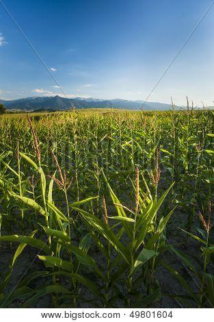 Corn Fileds Detail Vertical