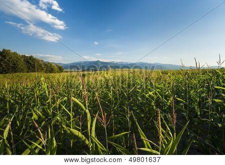 Corn Fileds Detail