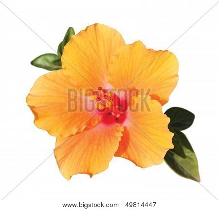 Orange Hibiskus Flower Under Sunlight