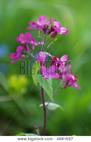 Lunaria, Flower Stage Honesty, Or Silver Dollars