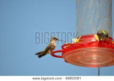 Hummingbirds eating