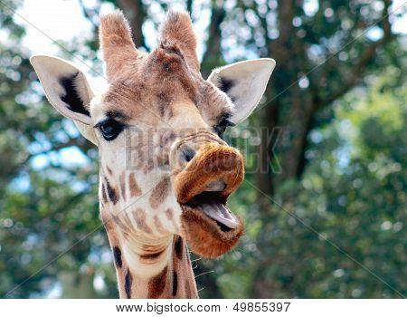 Talking Giraffe