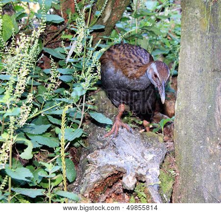 New Zealand Weka (gallirallus Australis)