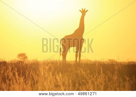 Wildlife and Sunset Background - Golden Giraffe from the wild and free in Africa