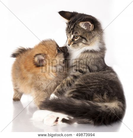 Cat and dog, Spitz puppy and kitten breeds Maine Coon