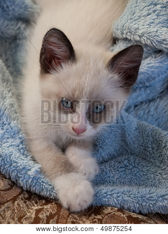 kitten breed snowshoe, two monthes