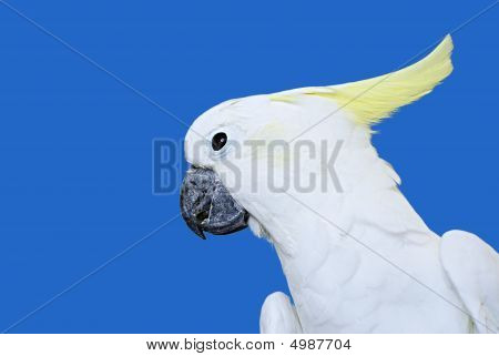 White Sulphur Crested Cockatoo