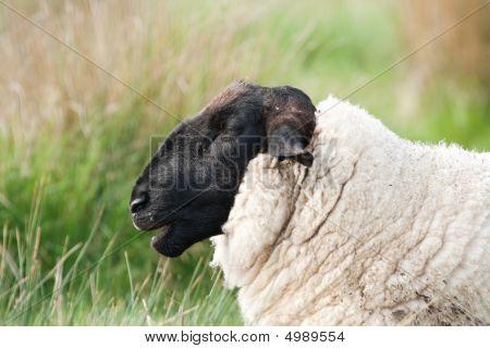 Head Of Suffolk Sheep