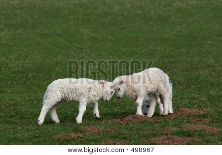 Battle Of The Lambs