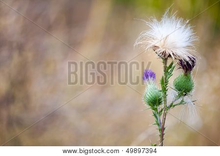 one Thistle flower