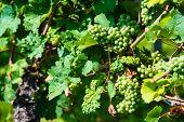 Green grapes in a wine yard in Stuttgart Bad Cannstatt in bright summer light, not yet ripe poster
