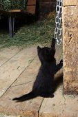 A playful farm kitten playing in the barn. poster