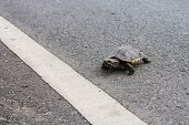 Asian turtle moving across the road, slowly poster