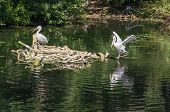 Dalmatian Pelican in Moscow zoo in summer poster