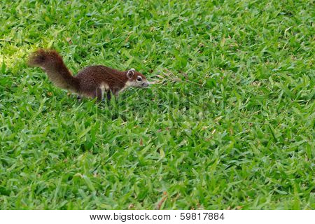Brown Squirrel Jumping On Grass