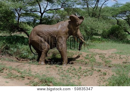 poster of adult elephant cooling himself with mud in one of tanzania national parks