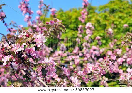 Beautiful blooming of apple tree.