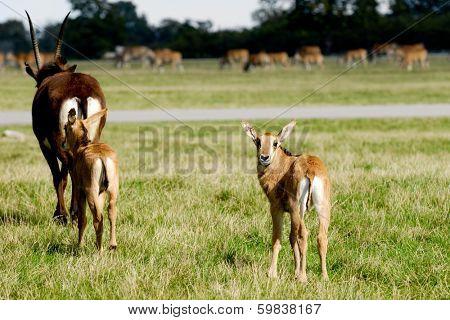 Antelopes on green grass
