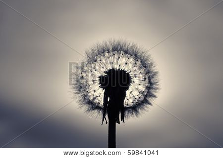 Dandelion close-up against rising sun