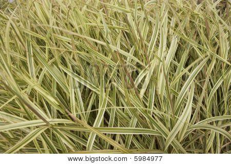 Wind Blown Wild Grass