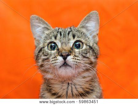 Muzzle Of Tabby Cat