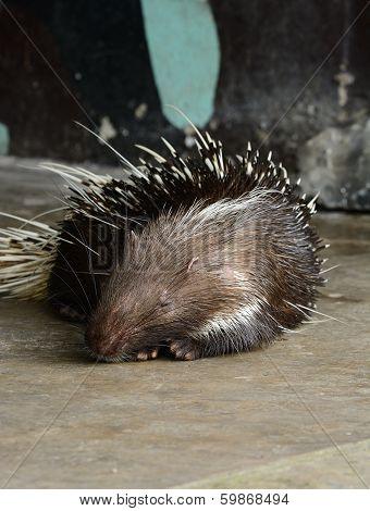 beautiful male East Asian Porcupine (Hystrix brachyura) as pet sleeping poster