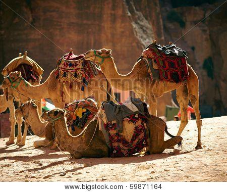 Camesl caravan in the desert poster