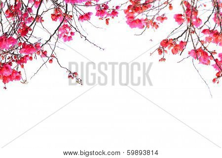 bougainvillea flowers border isolated on white background