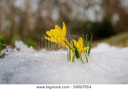 Delicate Yellow Crocuses Rise Up From Snow In Sun