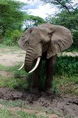 adult elephant cooling himself with mud in one of tanzania national parks poster