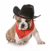 country dog - english bulldog puppy dressed up in western gear isolated on white background- 8 weeks old poster