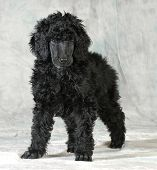 standard poodle puppy standing on green background - 8 weeks old poster