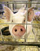 a pig at a local fair close up shot  poster