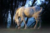 White horse in the forest standing with his feet in the low hanging mist poster