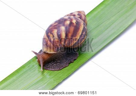 Snail Walking On Green Leave.