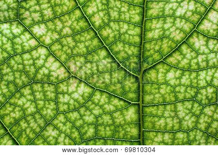 Close up photo of a tree leaf showing the veins poster