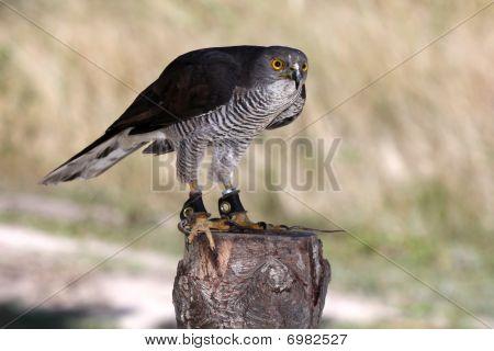 African Goshawk Raptor Bird