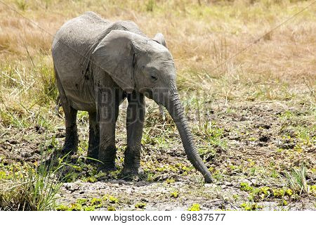 Masai Mara Elephant