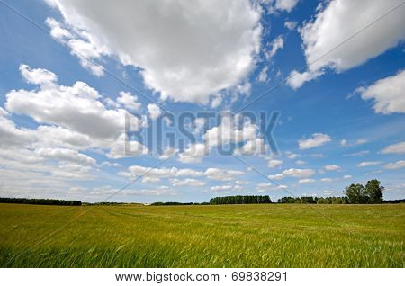 Landscape with corn field. The sky is blue with white clouds