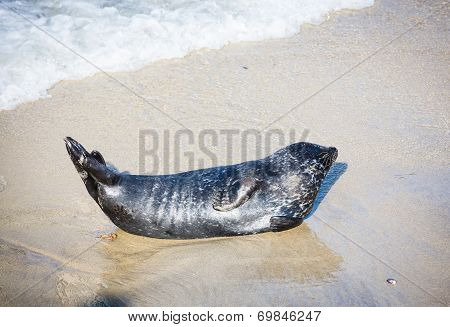 A Harbor seal rests on the beaches of La Jolla California. poster