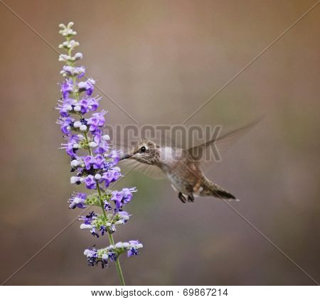 a cute hummingbird hovering at a flower to drink nectar  poster