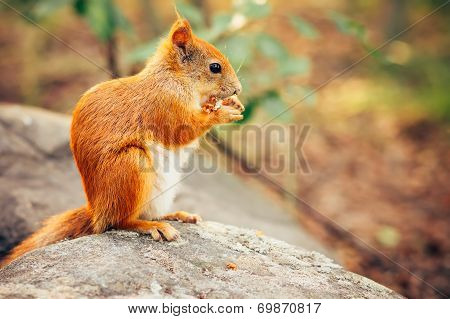 Squirrel Red Fur With Nuts And Summer Forest On Background Wild Nature Animal Thematic (sciurus Vulg