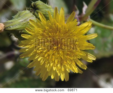 Spiny Leave Sow Thistle