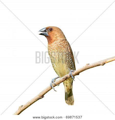 Scally-breasted Munia Bird