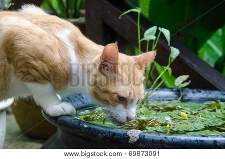 Yellow Cat Drinking Water