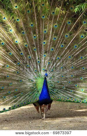 Male peacock wheel of feather