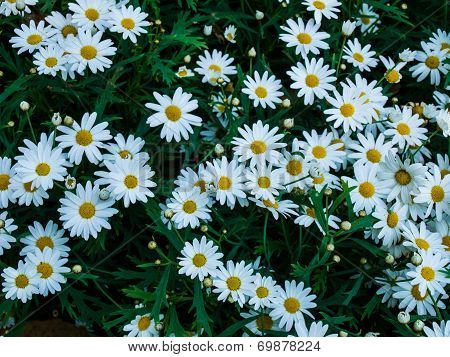 White Cosmos Flowers In Nature