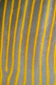 Sailfin Tang Skin Pattern Background Texture Fish poster