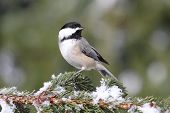 Black-capped Chickadee (poecile atricapilla) on a snow-covered branch poster